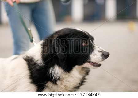 Mixed breed stray dog portrait outdoor on a leash in shelter