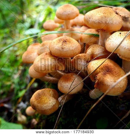 Bunch of young honey mushrooms growing in the forest. Macro photo of a bunch of wild honey agaric fungus.