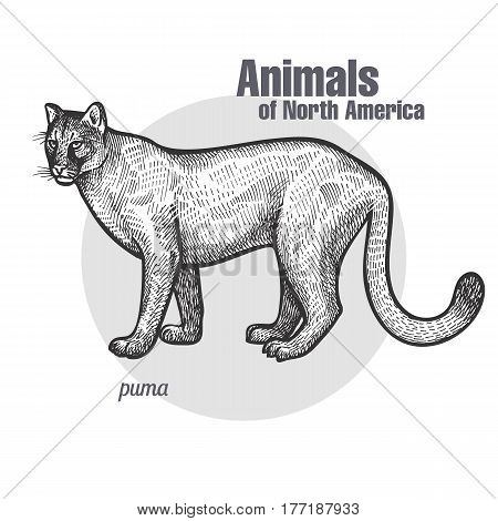 Puma. Hand drawing of wildlife. Animals of North America series. Vintage engraving style. Vector illustration art. Black and white. Isolated object of nature naturalistic sketch.