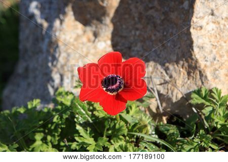 Red anemone flower in the north of Israel