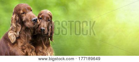 Website banner of cute Irish Setter dogs