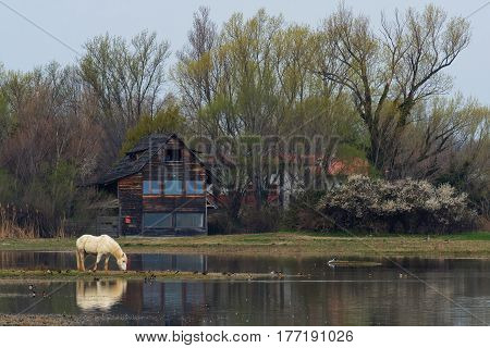 Camargue horse into the Natural Reserve of the Isonzo River Mouth (landscape)