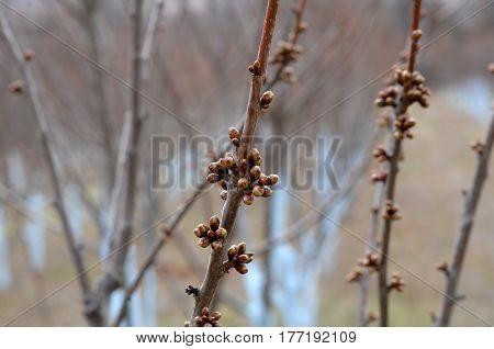 Cherry Trees Treated With Bordeaux Mixture To Combat Mildew.