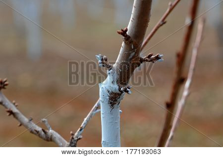 Cherry Trees Treated With Bordeaux Mixture To Combat Mildew.