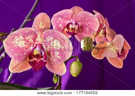 Pink Orchid Macro With Water Drops. Phalaenopsis Branch On Purple Background. Close Up. Spring...