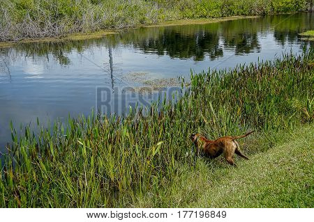 hunting dog fetches prey in the swamp