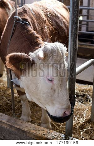 Cow Drinking Water In Stable