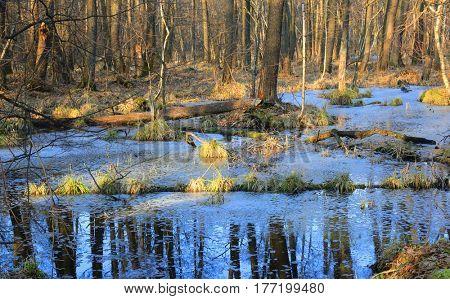wild swamp in spring forest