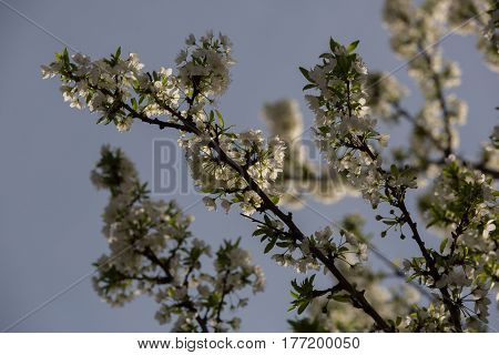 of particular branches of Plum plums or flowers