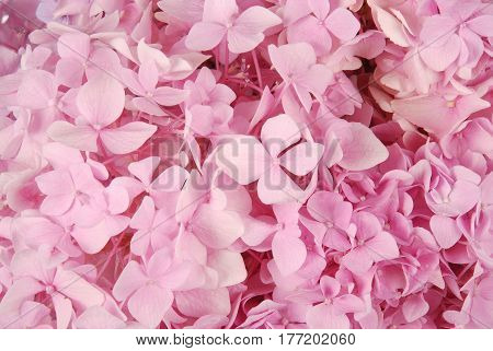Beautiful Pink hydrangeas flower background. Natural color.
