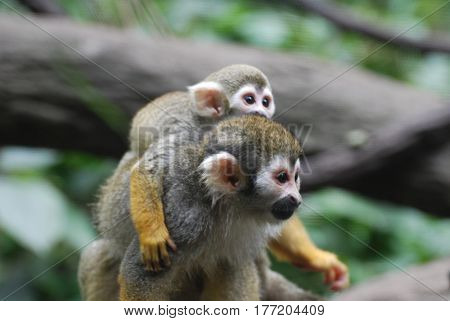 Really adorable mom and baby on a squirrel monkey holding on to each other.