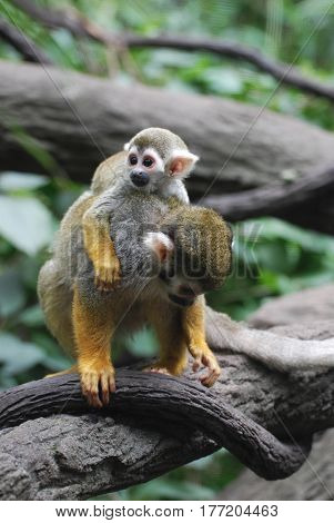 Adorable baby squirrel monkey clinging to it's mom.