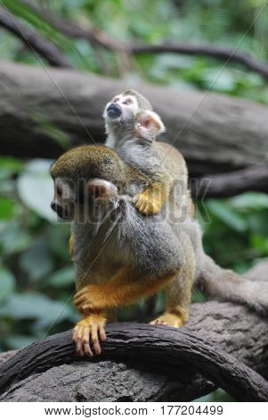 Absolutely adorable capture of a squirrel monkey family with a mom and a baby.