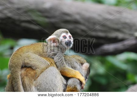 Adorable baby squirrel monkey clinging to it's mother's back.