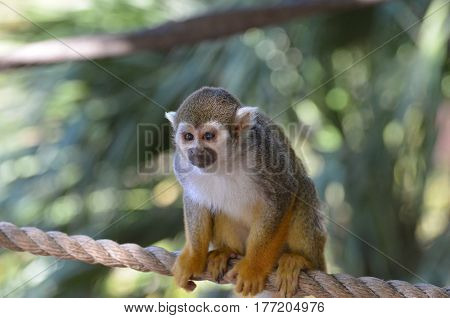 Really cute young squirrel monkey sitting on a rope.
