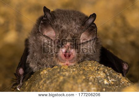 Lesser horseshoe bat (Rhinolophus hipposideros) detail of face. Specialized anatomical features involved in echolocation seen on rare bat in the family Rhinolophidae
