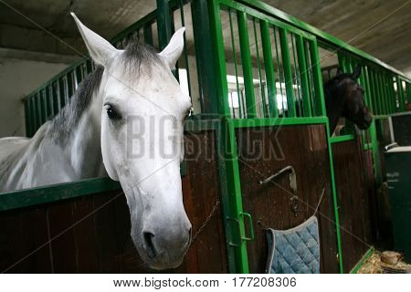 White and black horses in the stable.