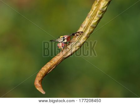 Mauritius hoverfly with patterned wing resting on leaf