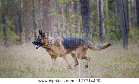 Portrait of german shepherd dog running in autumn park, telephoto
