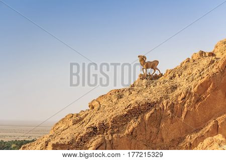 Statue of goat in mountain oasis Chebika at border of Sahara, Tunisia, Africa