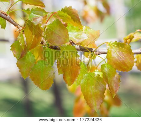 Young aspen leaves on a tree branch in nature spring season