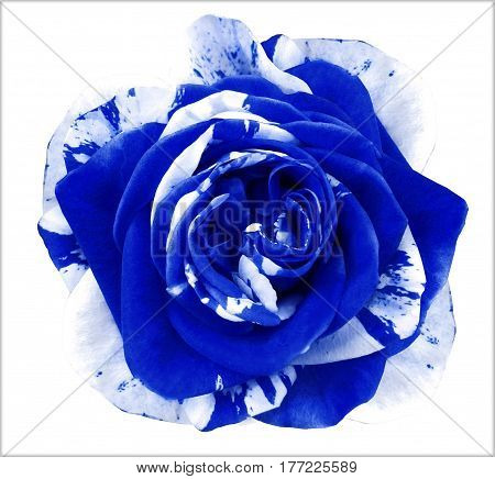 White-blue rose flower on white isolated background with clipping path. no shadows. Closeup. Nature.