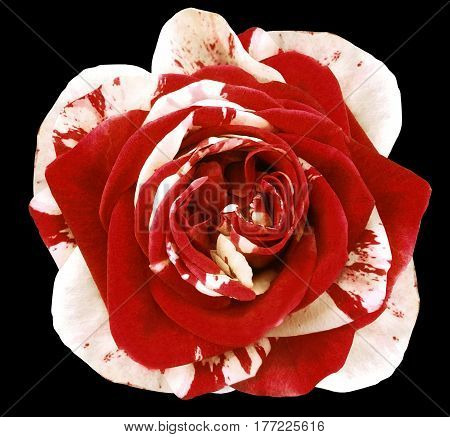 White-red rose flower on black isolated background with clipping path. no shadows. Closeup. Nature.