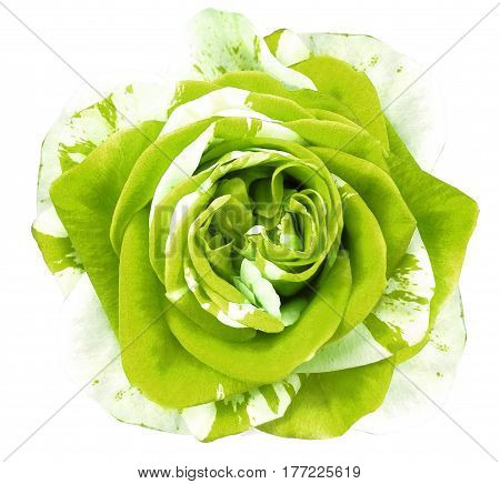 White-green rose flower on white isolated background with clipping path. no shadows. Closeup. Nature.