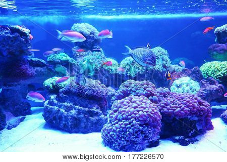 Exotic coral fishes in aquarium