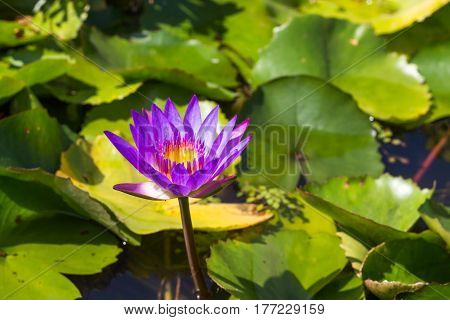 Close up Purple lotus in a pond.