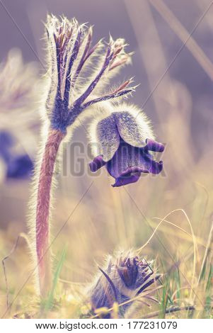 Early spring pasque-flower as background. Vintage colors.