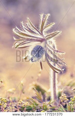 Pasque-flower_1