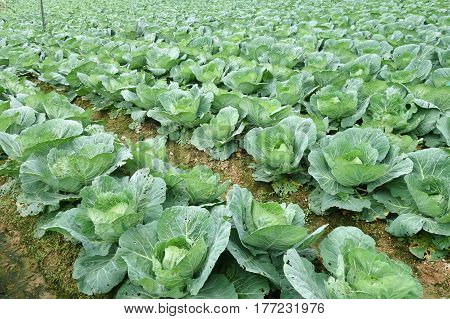 Rows Of Grown Cabbages In Cameron Highland