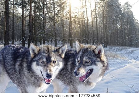 A pair of wolves at sunset in a forest under a falling snow