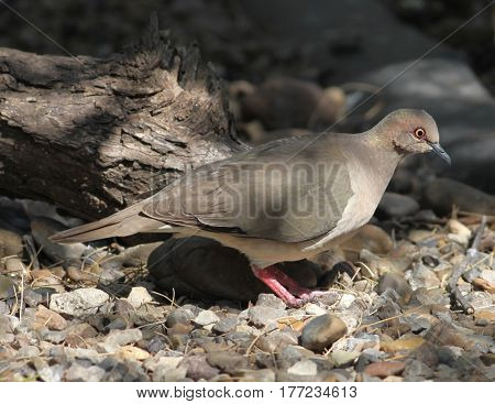White-tipped Dove (Leptotila verreauxi) at Laguna Atascosa NWR in Cameron County Texas