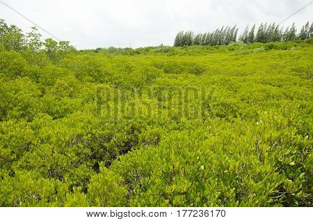Wind With Movement Of Foliage Of Golden Mangrove Field Thai Name Tung Prong Thong Forest