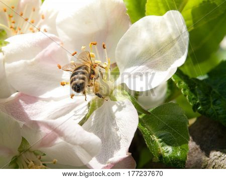 Bee collects nectar and pollen on white cherry bloom with green leaf and sun beams on the background. Spring day theme.