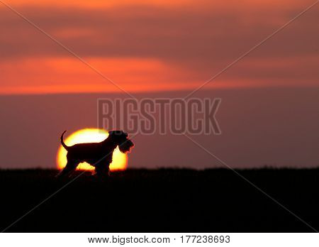 Silhouette of miniature schnauzer standing in profile in sunset. Big round sun behind dog
