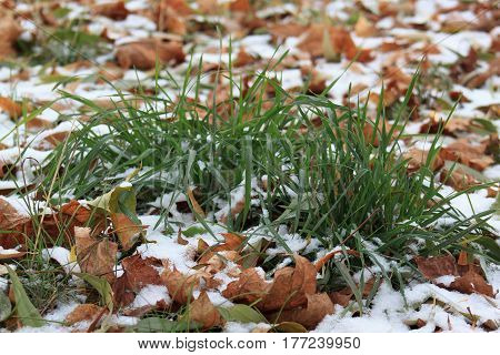 Dry leaves on the snowbound green grass in park. Cold autumn day.