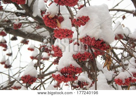 Branches rowanberry covered with snow and pieces of ice. In fairy winter forest.