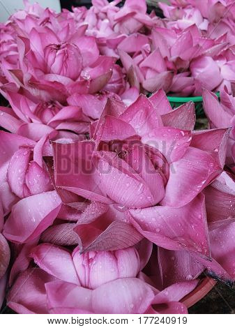 Fresh pink lotus buds offered to worshipers at a Buddhist temple