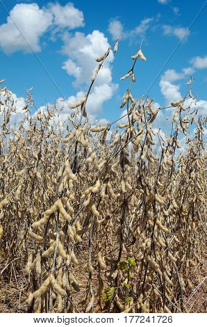 Soybean Plant Ready For Harvest