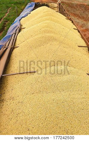 Trailer Of A Truck Fully Loaded With Soybeans
