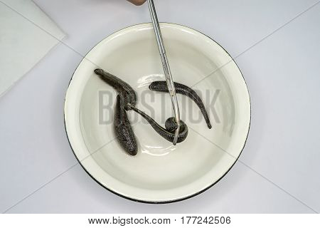 The medical leech on a white background