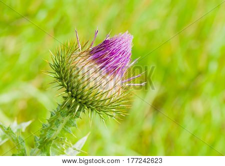 Beauty of spiny nature - Spear Thistle (Cirsium vulgare) closeup in the begining of the flowering.