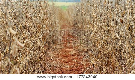 Space Between Soybean Plants On A Plantation Of A Farm