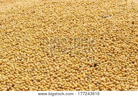 Many Freshly Harvested Soy Beans