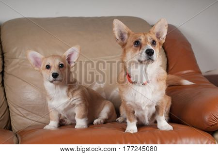 Pembroke Welsh Corgi puppy and mother sitting portrait on beige sofa at home