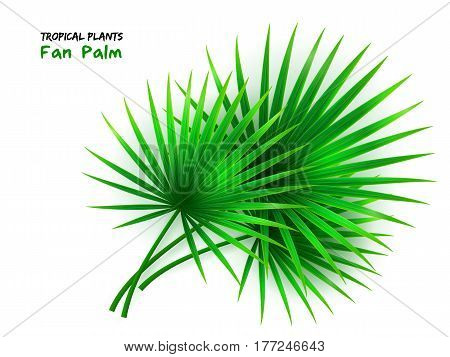 vector illustration of isolated realistic fan palm leaves.