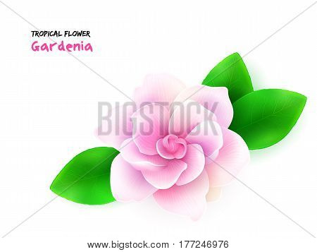 vector illustration of isolated realistic subtropical blooming gardenia flower with leaves.